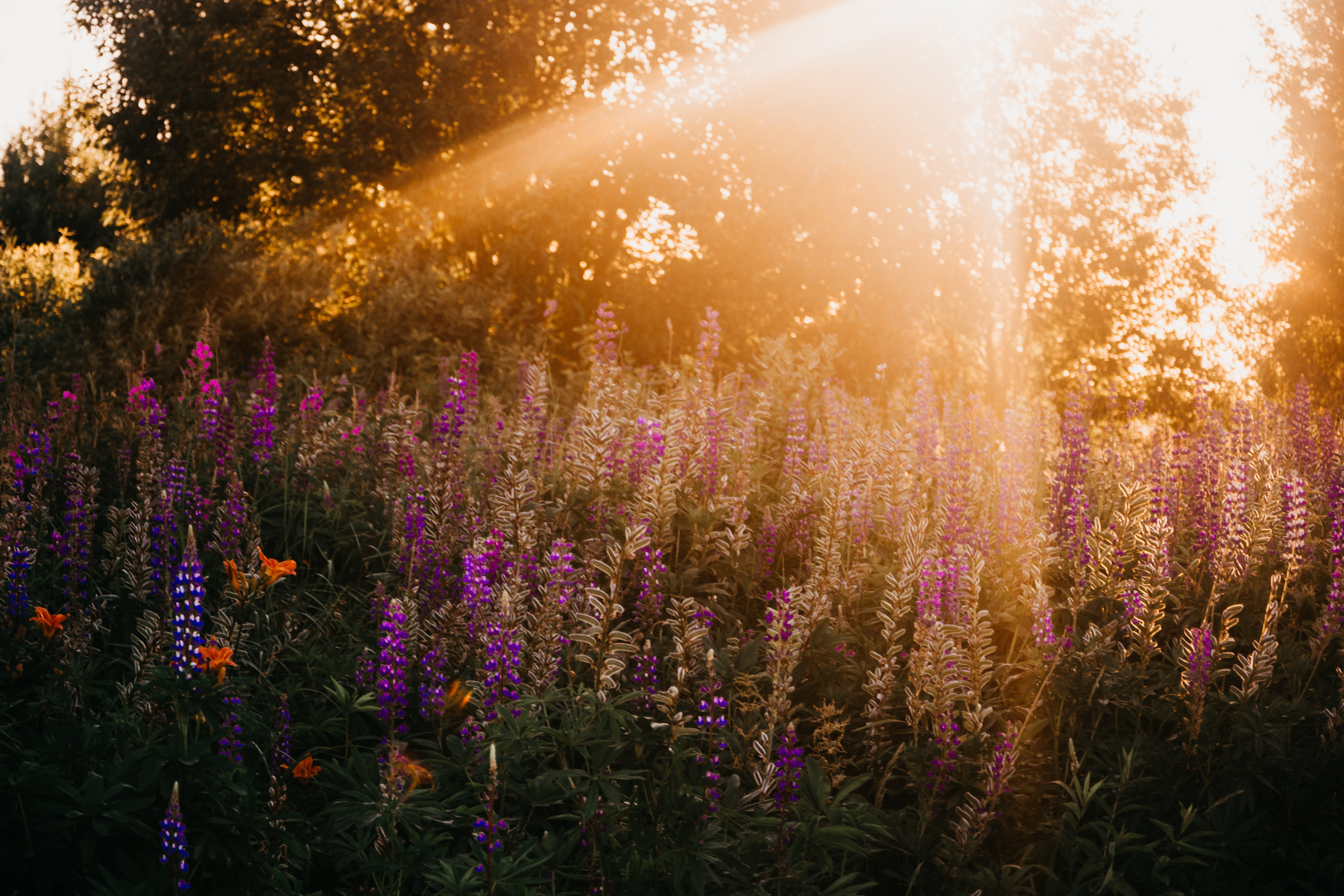 Photo of Lavenders During Golden Hour