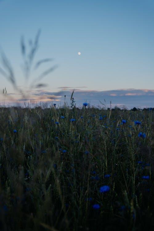 Photos gratuites de atmosphère de soirée, atmosphérique, blé, bleuets