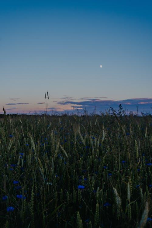 Photos gratuites de atmosphère de soirée, aube, blé, bleuets