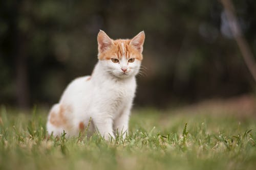 White and Brown Cat on Green Grass Field