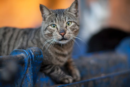 Selective Focus Photography Gray Tabby Cat Lying on Blue Metal Pipe