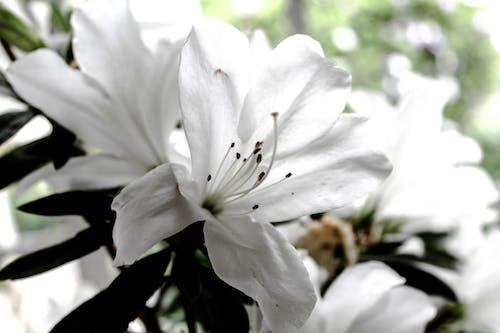 Kostnadsfri bild av klarhet, skön, vit blomma