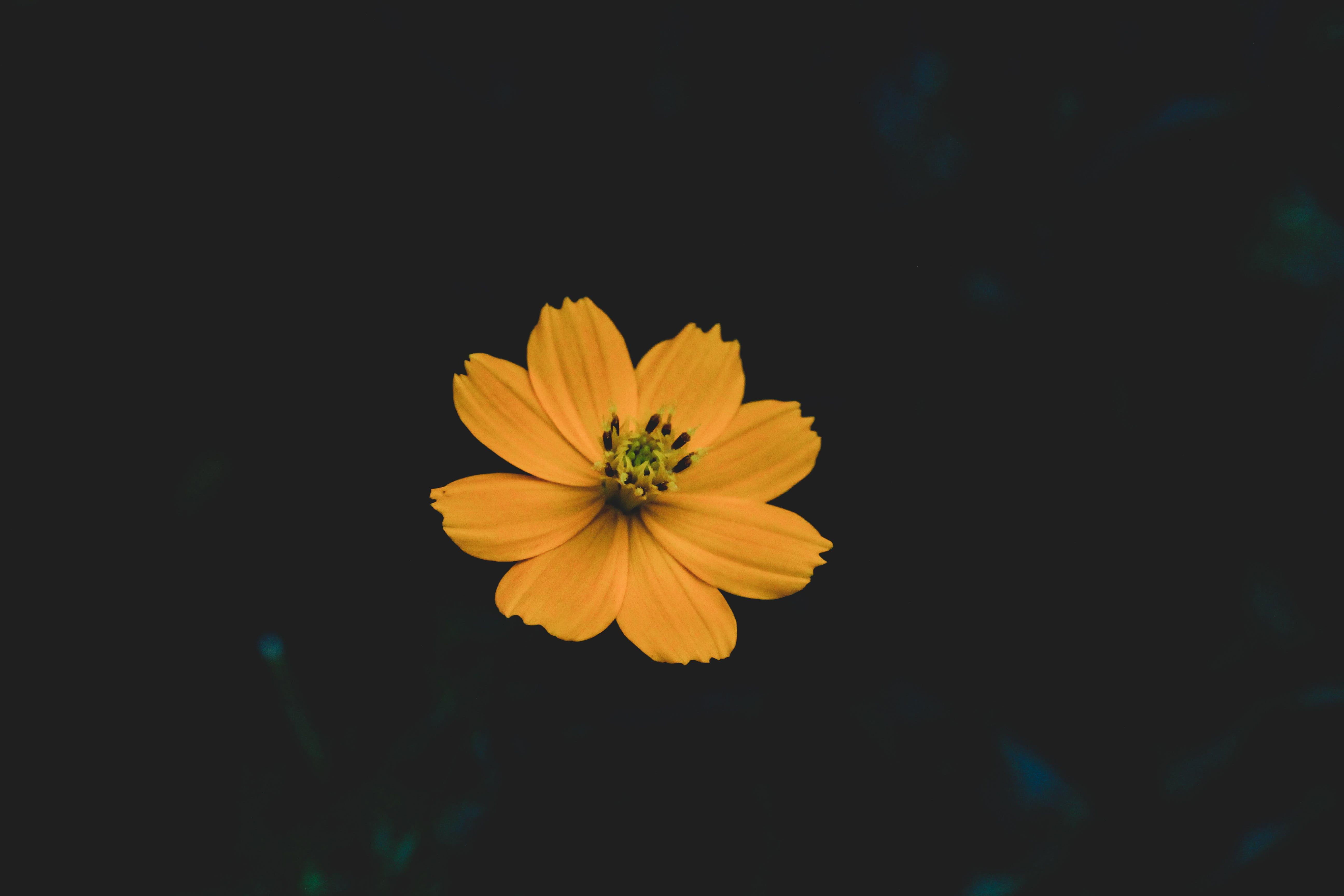 Selective Focus Photo of Yellow Cosmos Flower