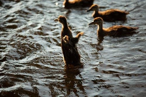 Five Brown Ducklings on Water