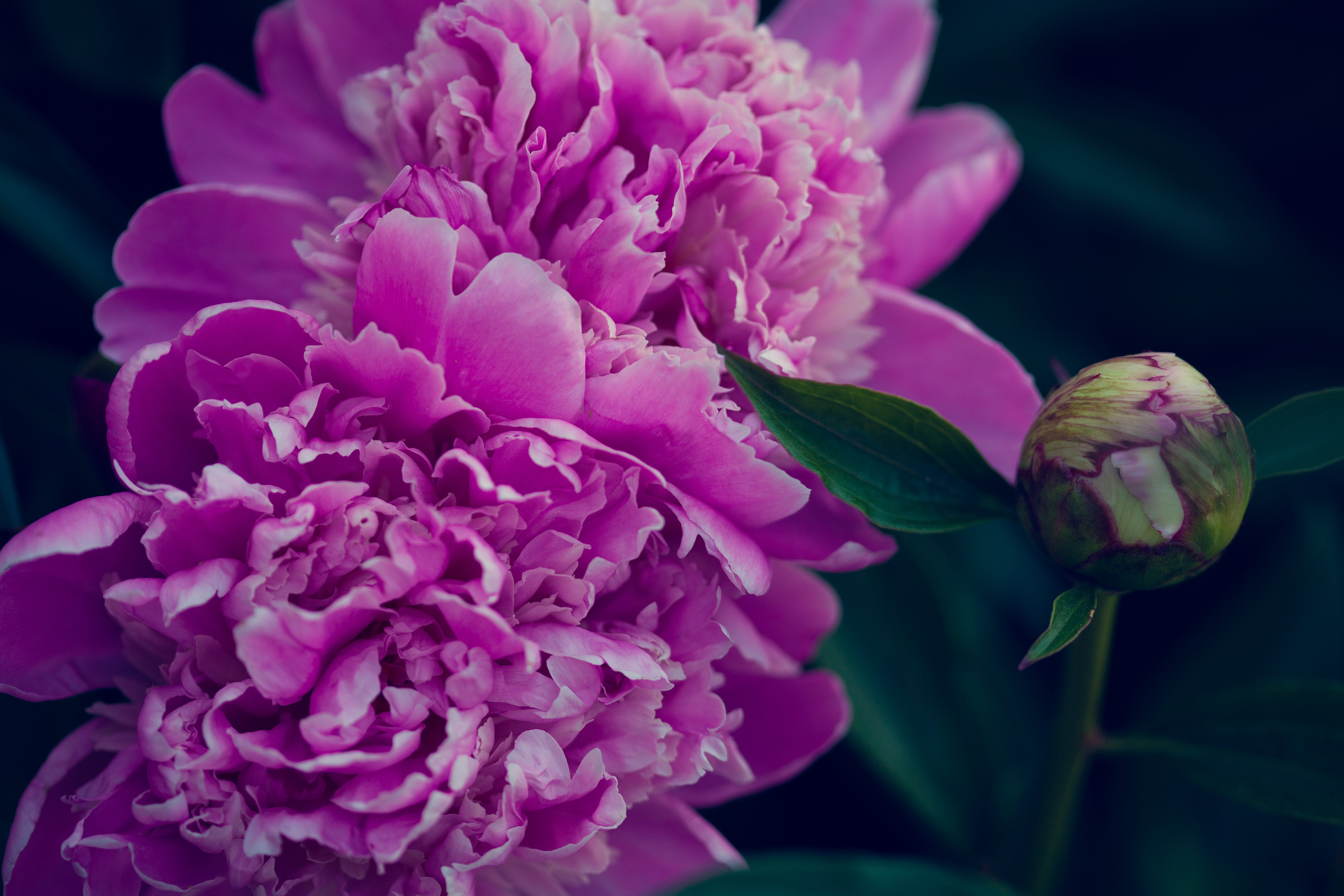 Free stock photo of flower, magenta, peony, pink