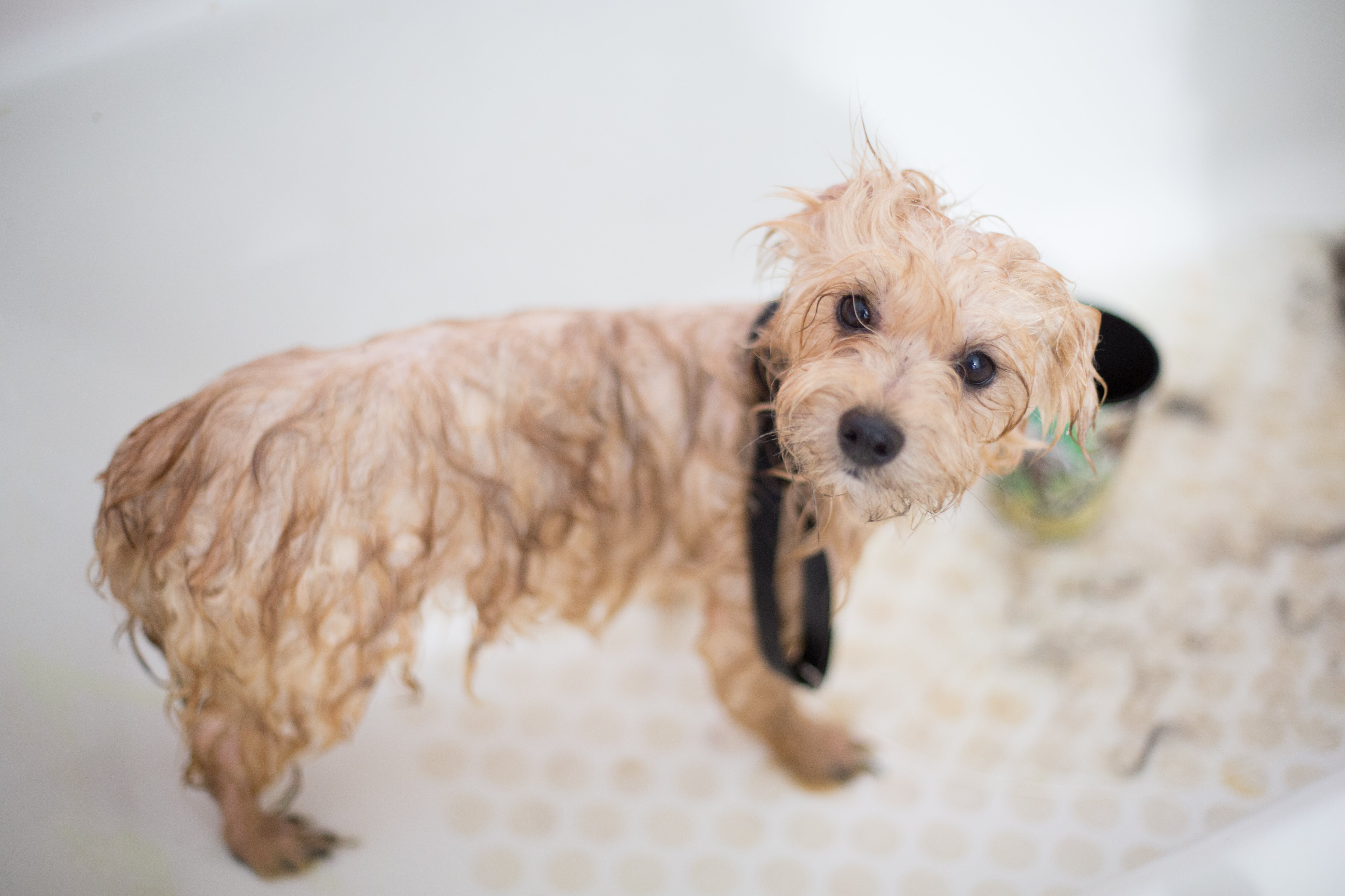 Cream Toy Poodle Puppy in Bathtub