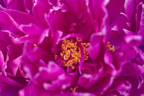 คลังภาพถ่ายฟรี ของ ดอกพีโอนี, สีม่วงแดงเข้ม, โบตั๋น