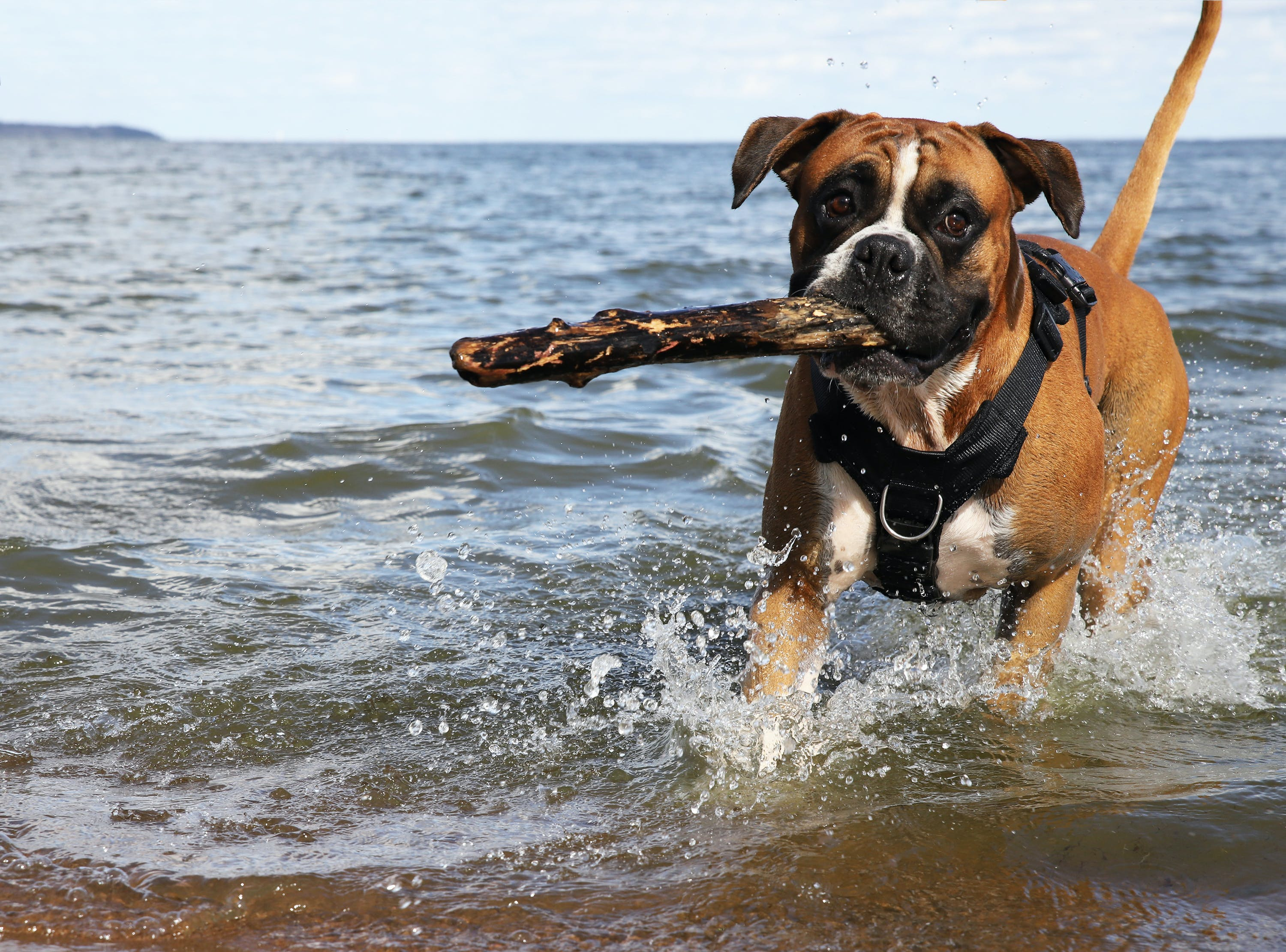 Free stock photo of boxer dog, dog fetch, Happy dog