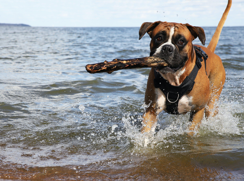 Free stock photo of Happy dog, boxer dog, dog fetch