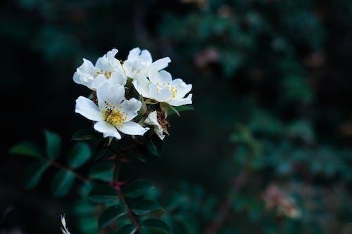 คลังภาพถ่ายฟรี ของ กลางแจ้ง, กลีบดอก, การเจริญเติบโต, กำลังบาน