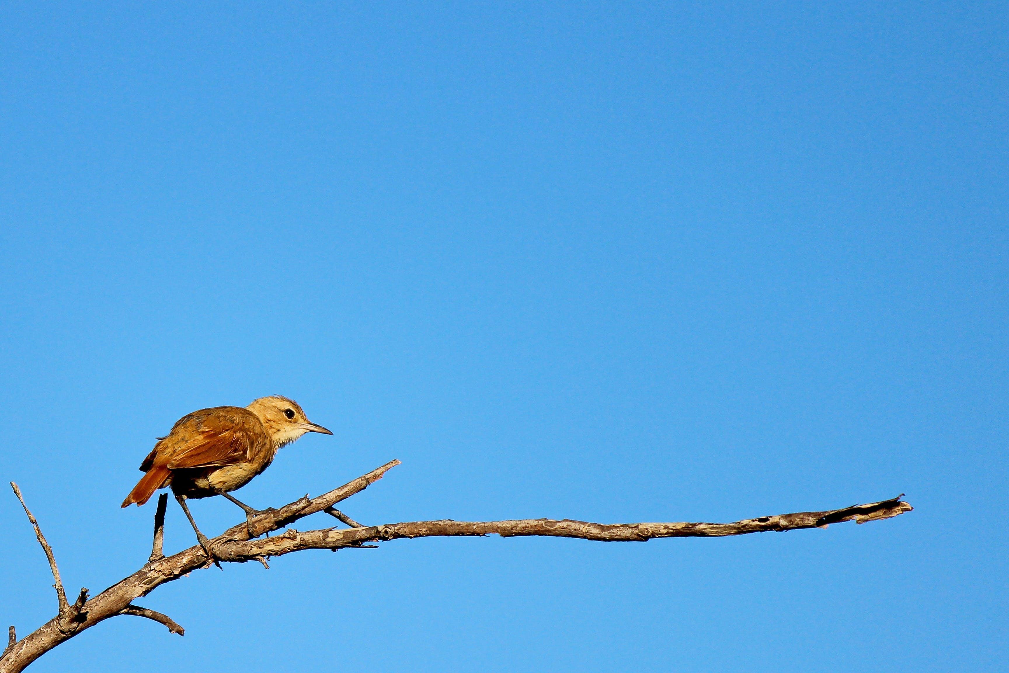 Free stock photo of bird, João-de-barro, nature