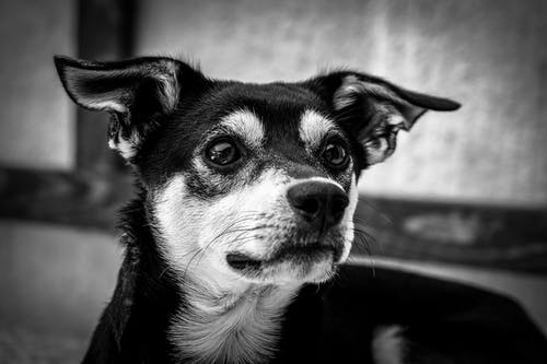 Fotos de stock gratuitas de adorable, animal, blanco y negro, canino