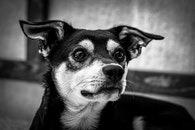 black-and-white, animal, dog