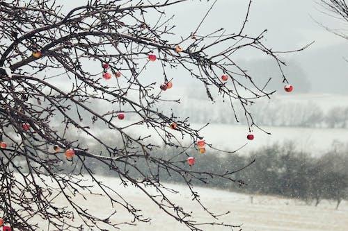 Fotos de stock gratuitas de apple, árbol, congelando, invierno