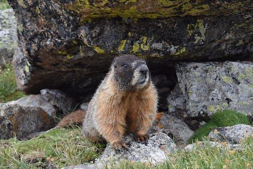 Free stock photo of marmot