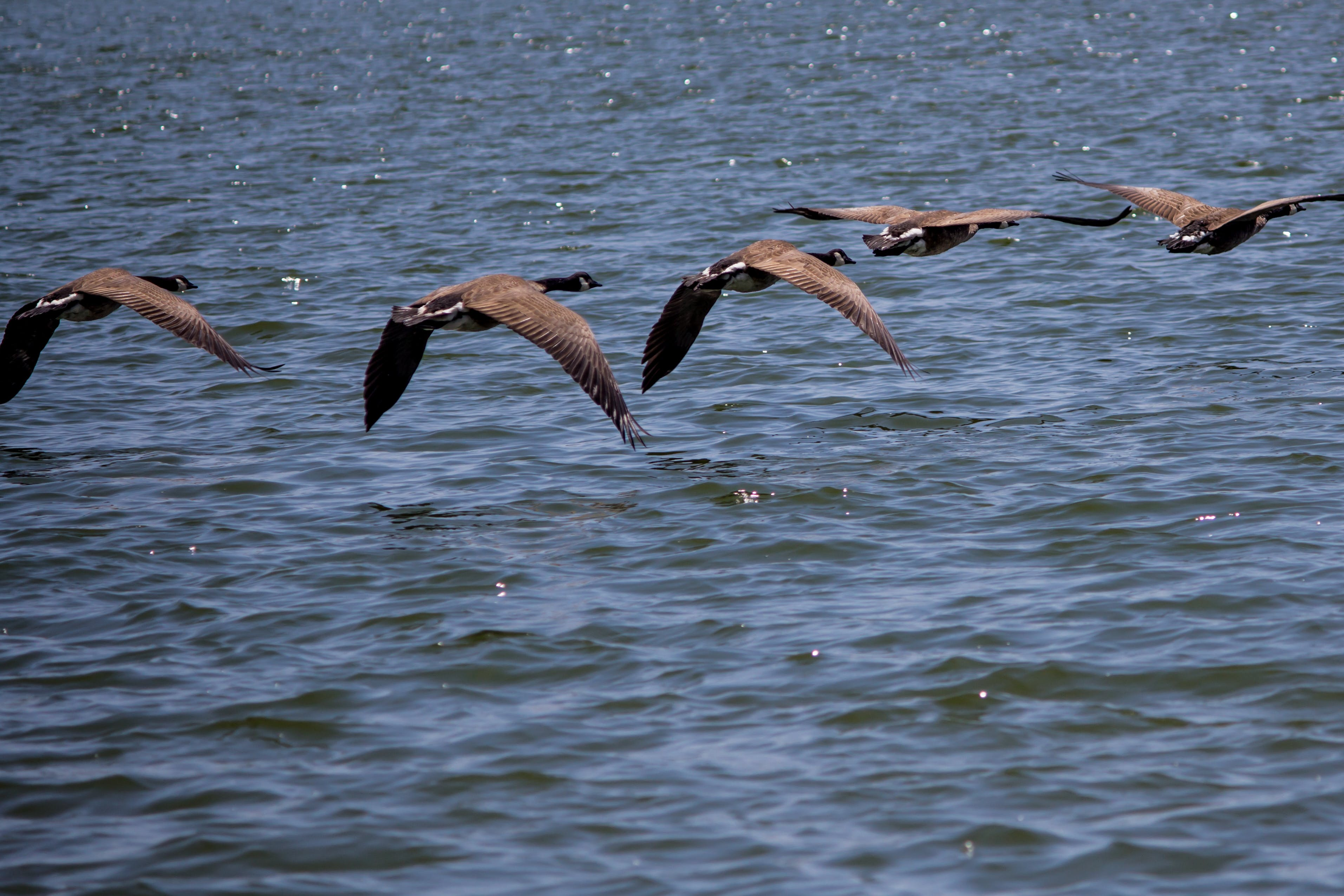 Free stock photo of flying, geese