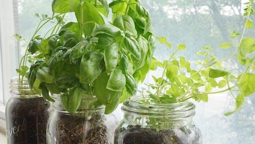 Kostenloses Stock Foto zu basilikum, fenster pflanzer, garten