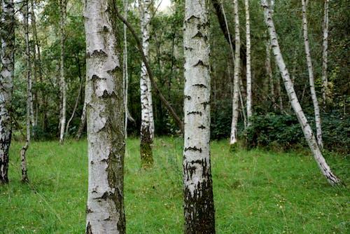 Kostenloses Stock Foto zu bäume, birke, grün