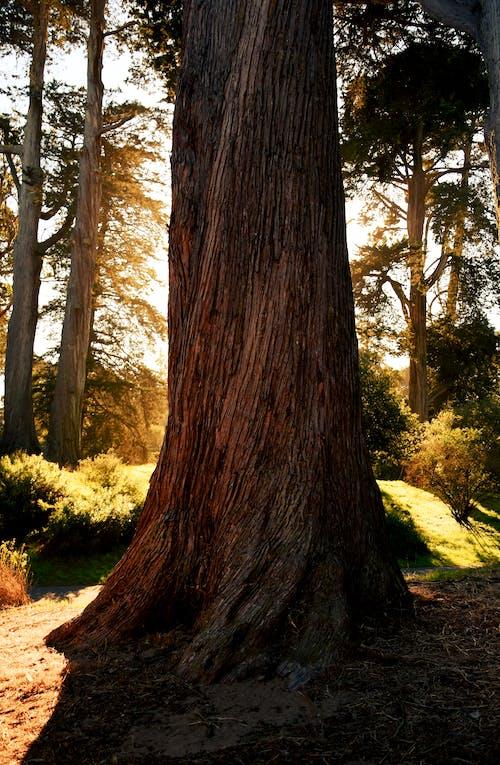 Darmowe zdjęcie z galerii z bagażnik, clearing, drzewo, kora