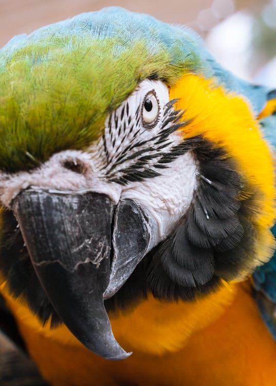 Close-up Photo Blue-and-yellow Macaw