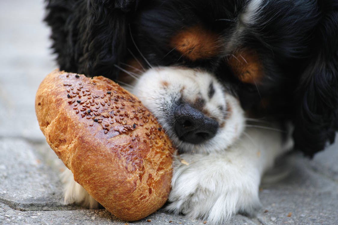 Tricolor Cavalier King Charles Spaniel Puppy Eating Bread