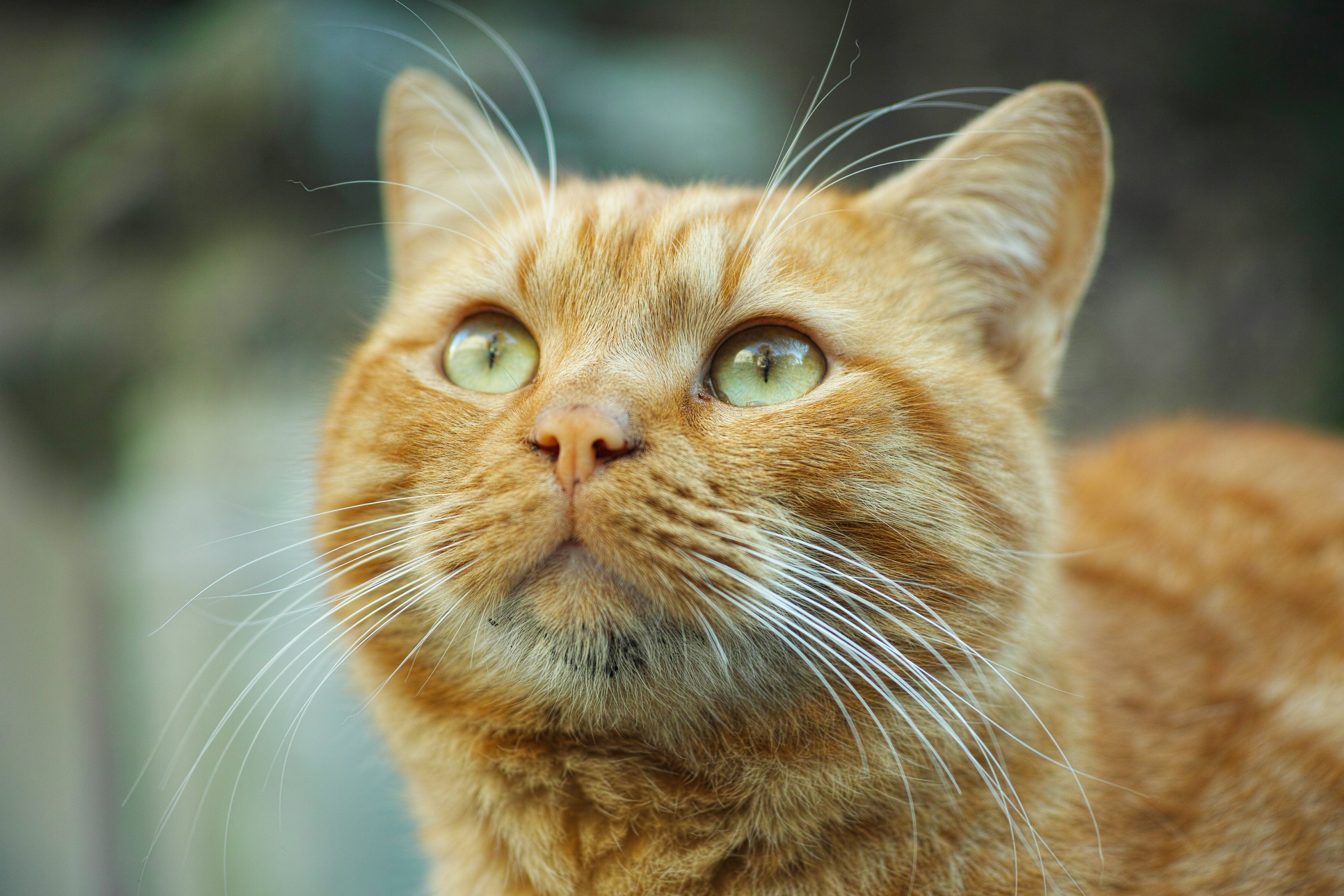 Selective Focus Photography Orange Tabby Cat Looking Up