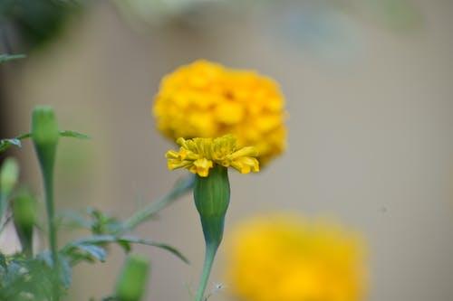 Безкоштовне стокове фото на тему «жовтий, красиві квіти»