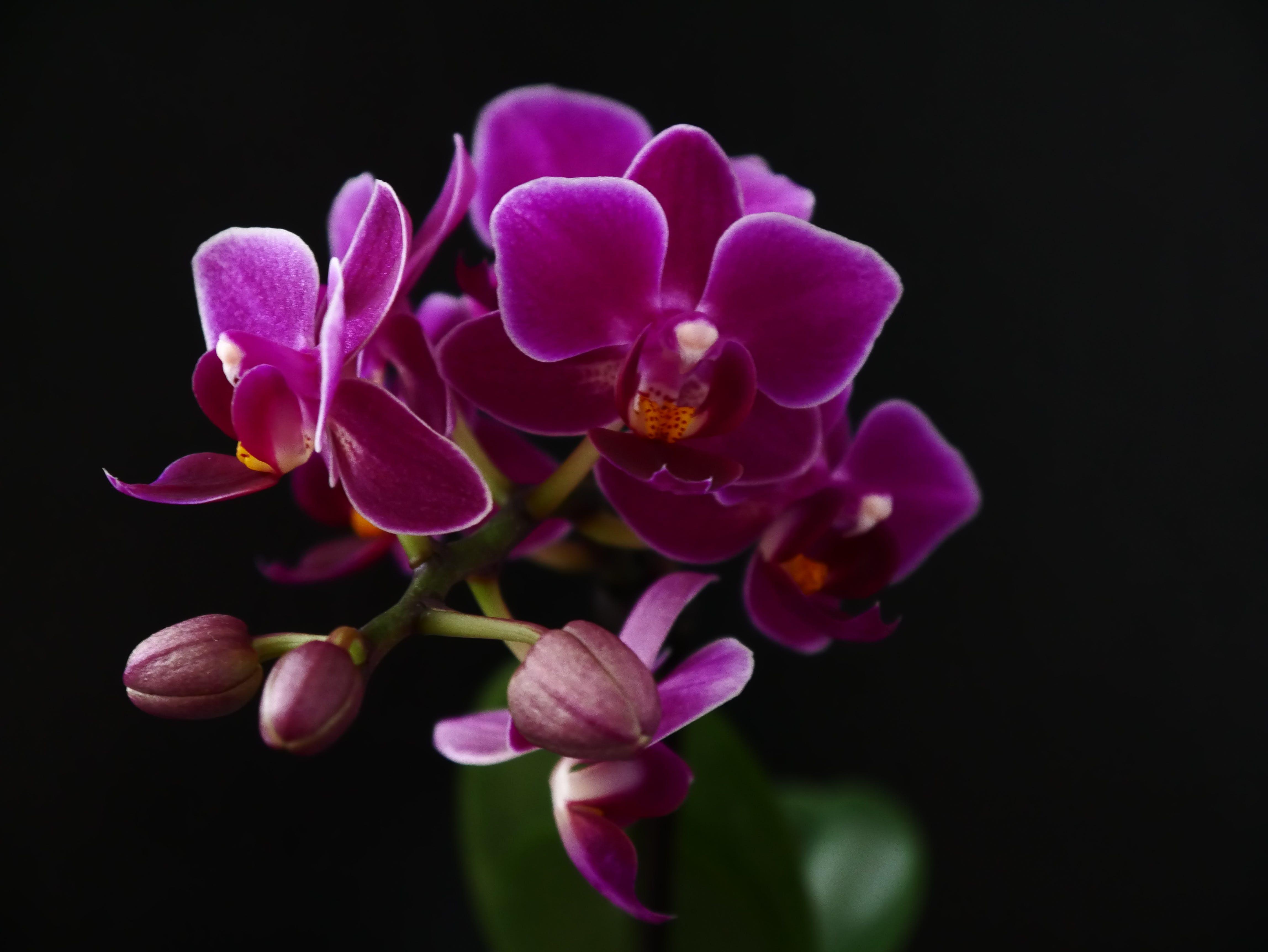 Free stock photo of purple, flower, orchid, purple flowers