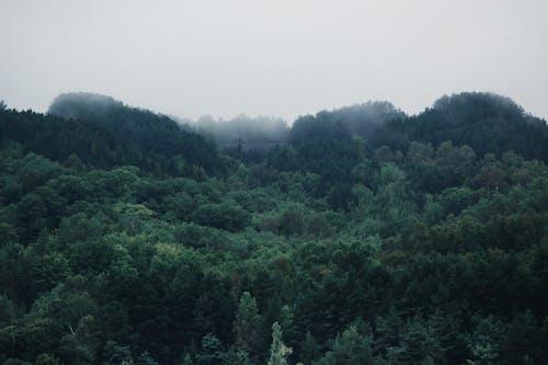 Gratis arkivbilde med dis, disig, furutrær, grønn