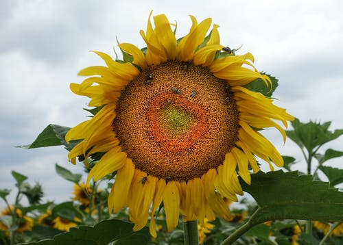 Macro Photo of Sunflower Under Cloudy Sky