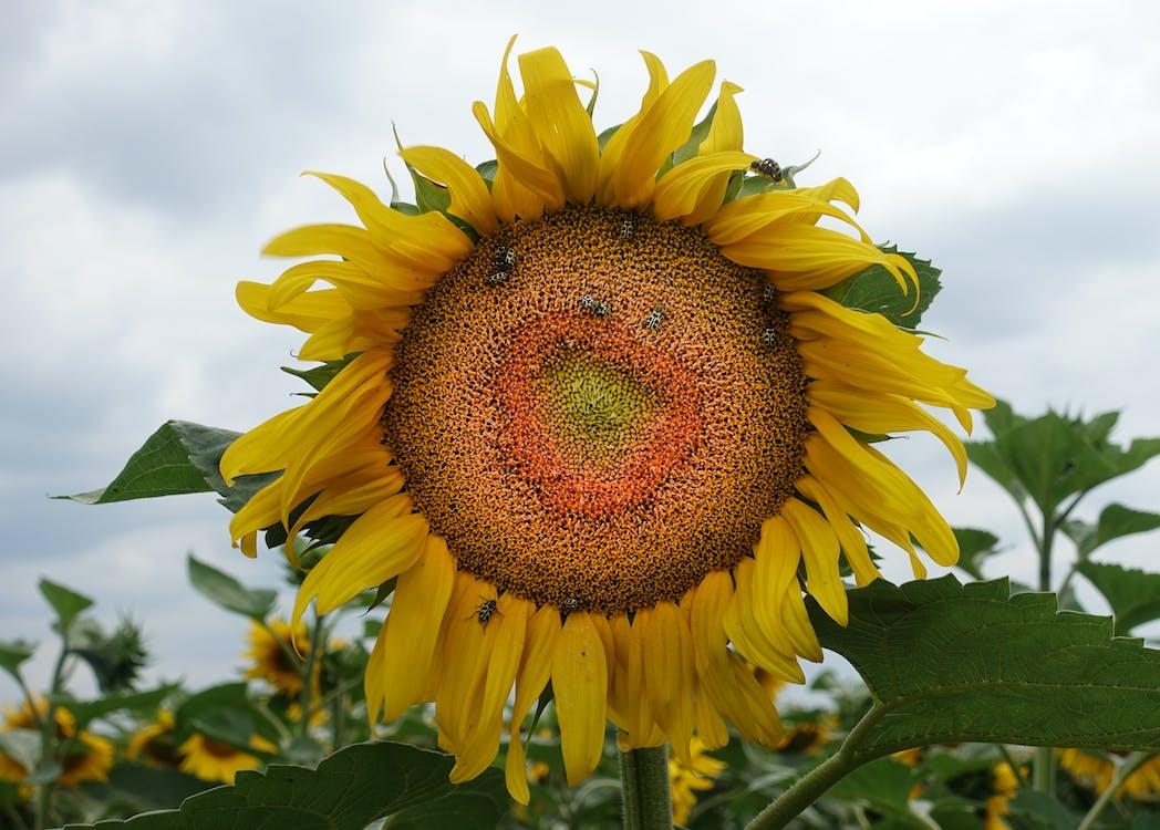 向日葵, 增長, 季節