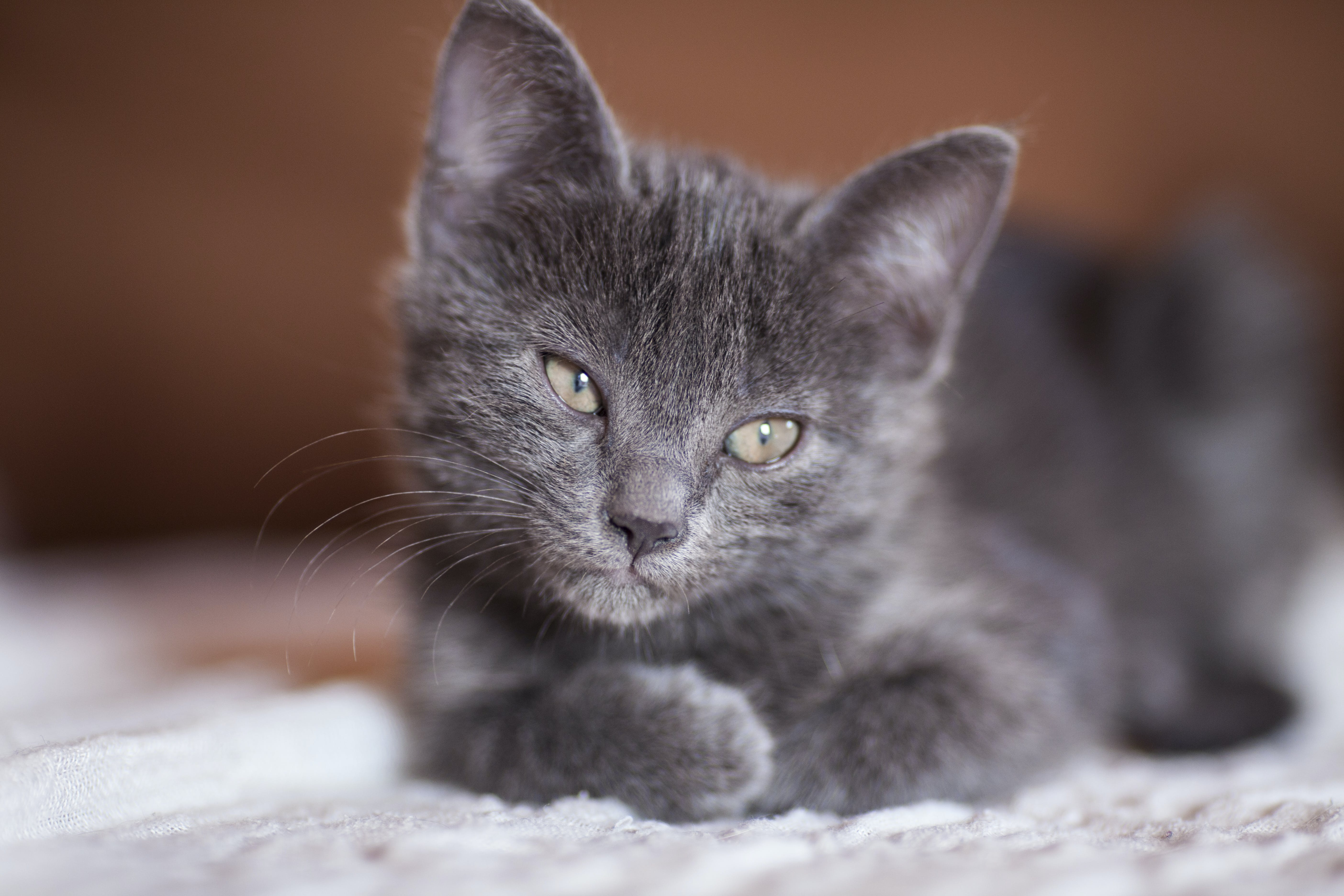 Close-up Photography of Gray Kitten