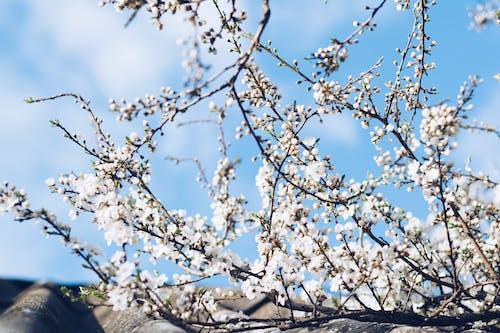 Белый цвет вишни под пасмурным небом