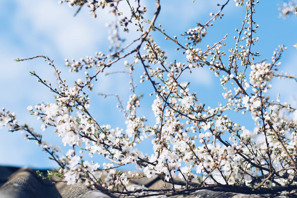 blå himmel, blomster, blomsterknopper