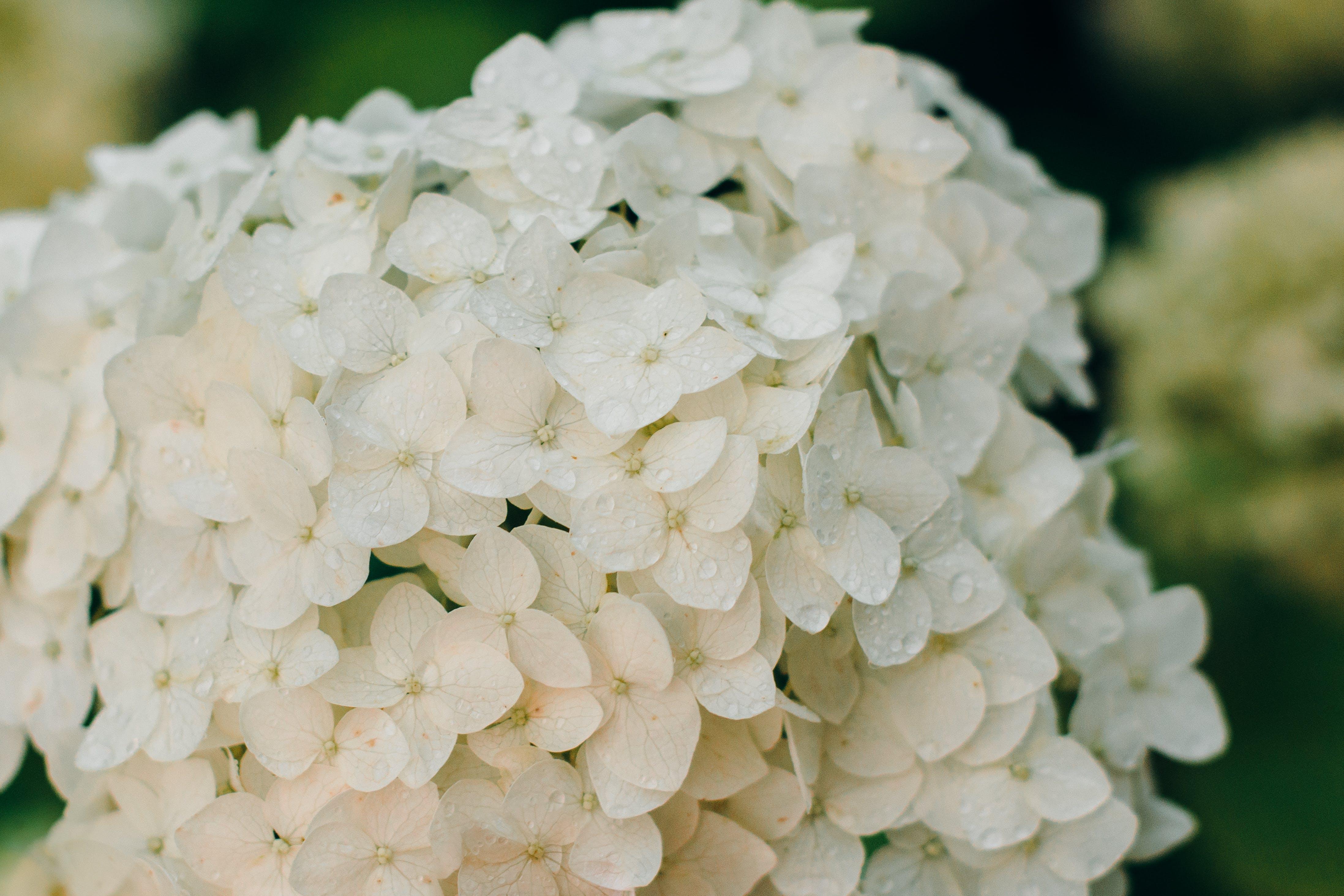 Selective Focus Photograph of White Hydrangea Flower