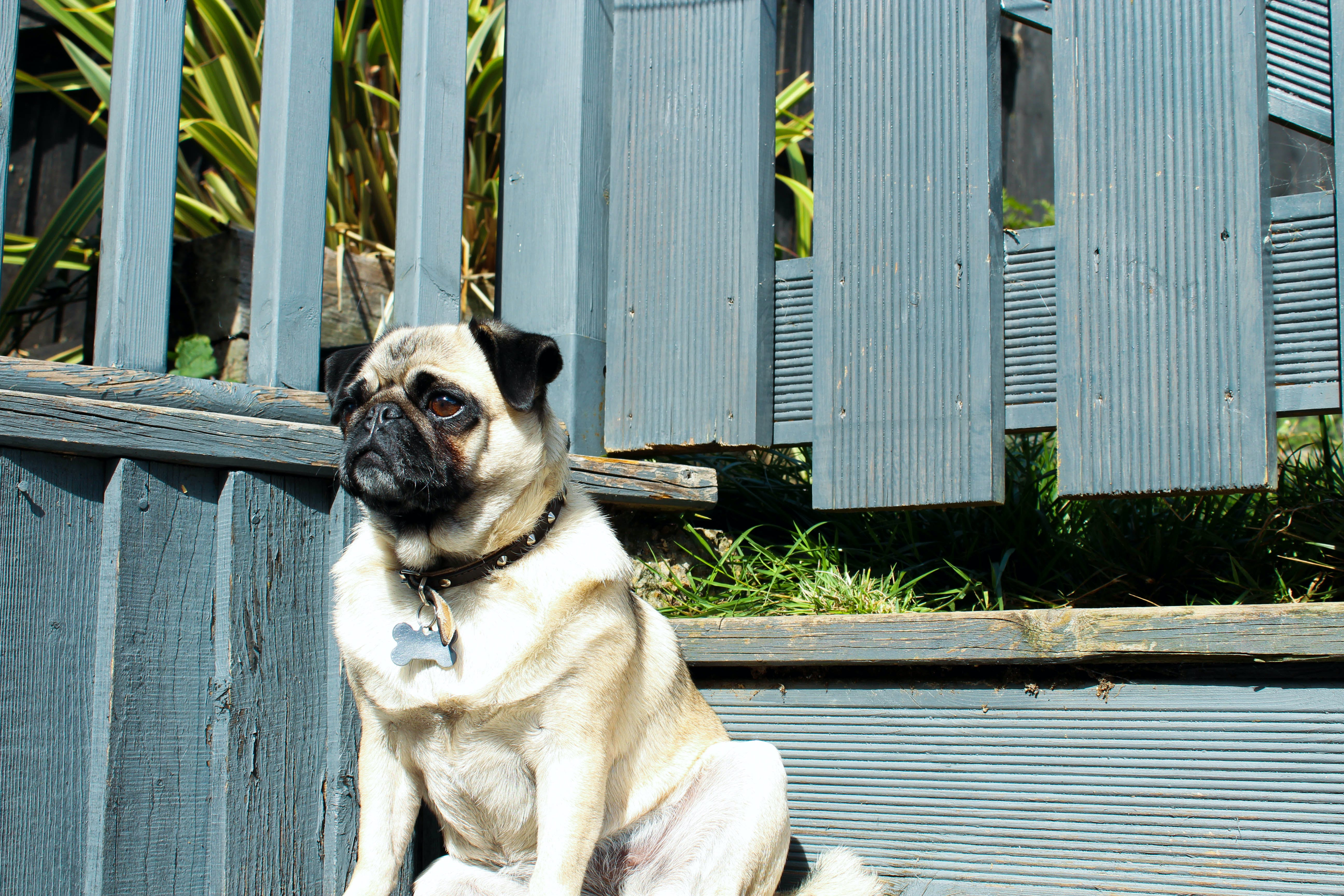 Adult Fawn Pug Outdoors