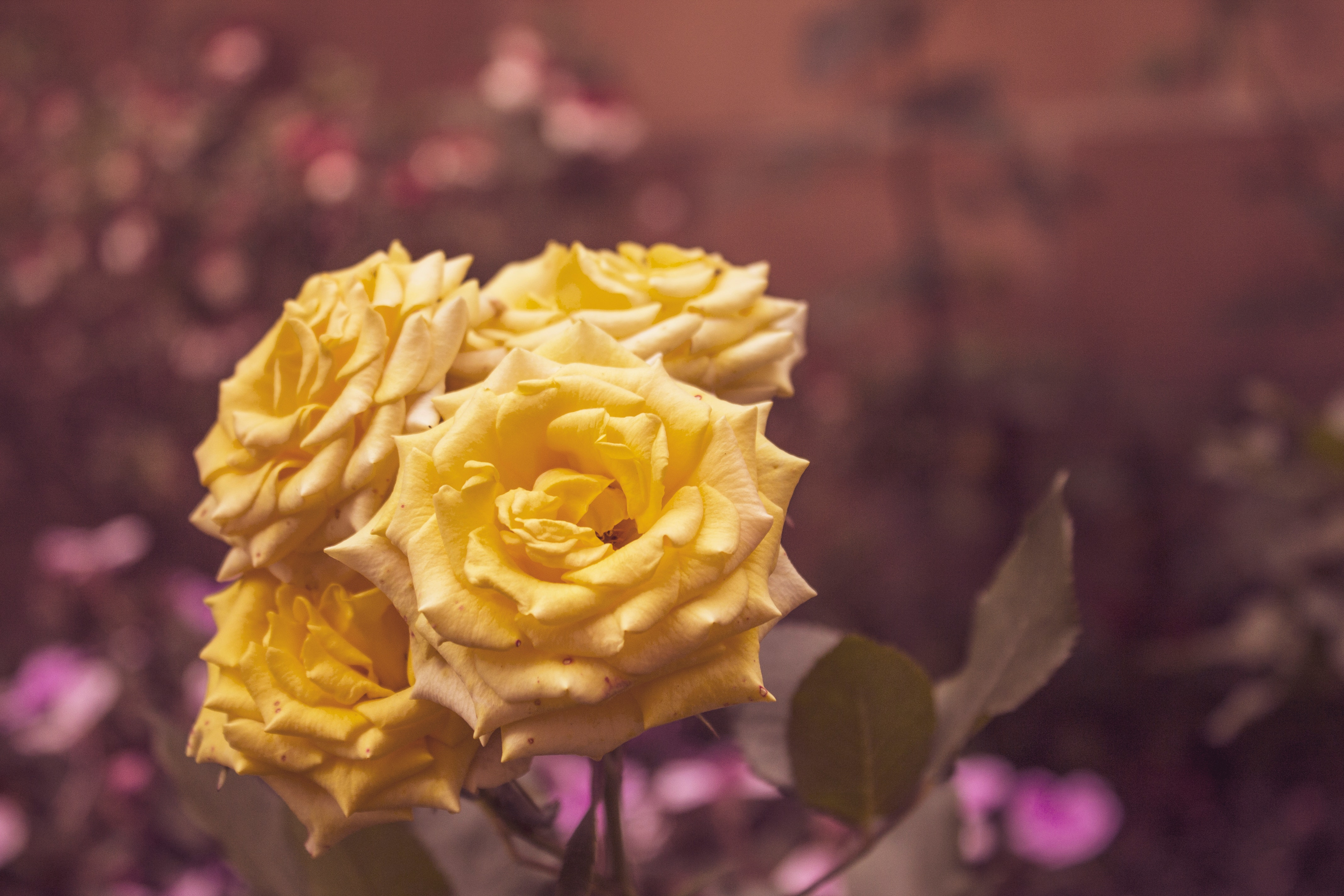 Free Stock Photo Of Roses Yellow Yellow Flower