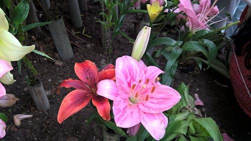 Free stock photo of beautiful flowers, flowershow, GANGTOK, lily