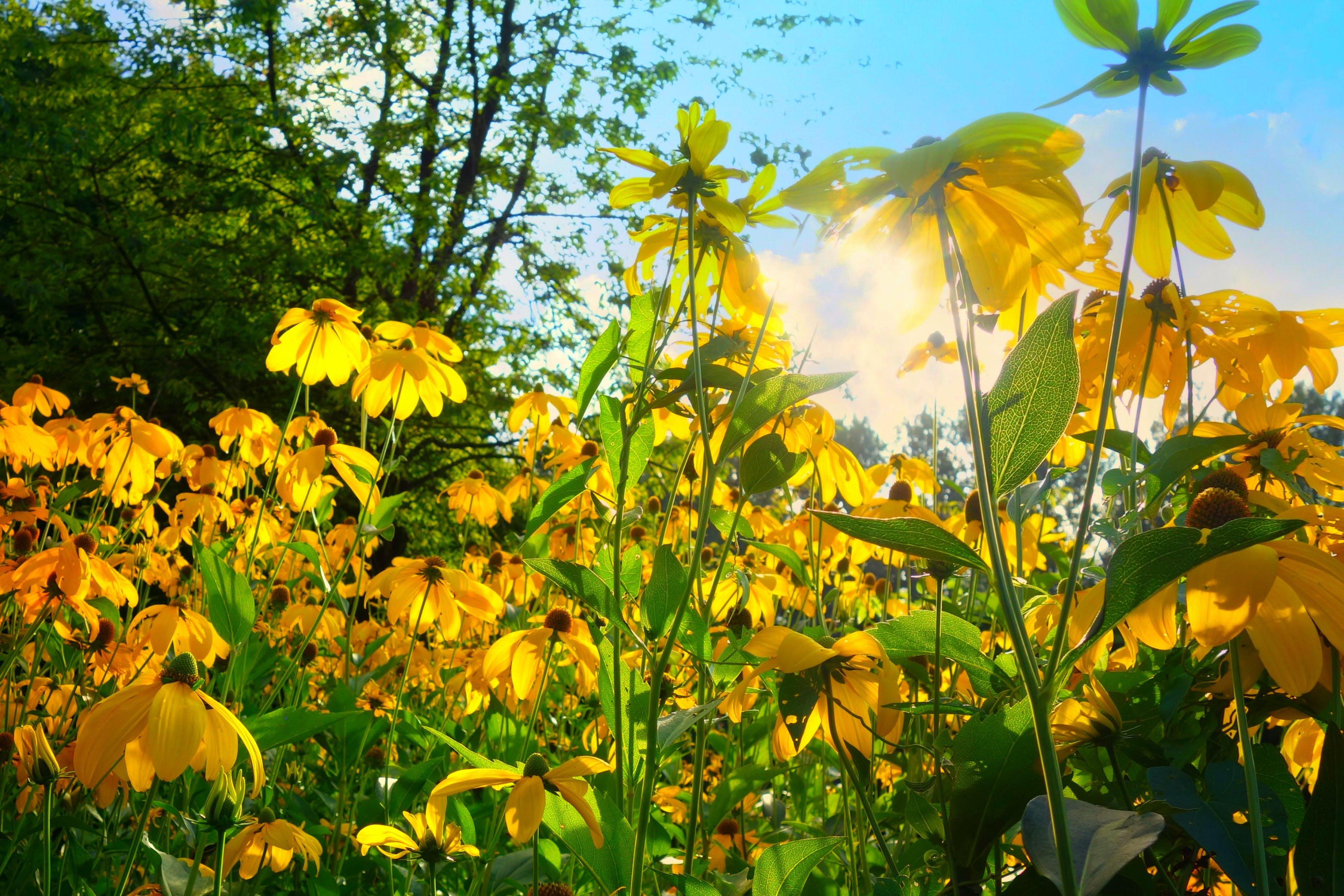 Photos gratuites de centrales, échinacée, fleurir, fleurs
