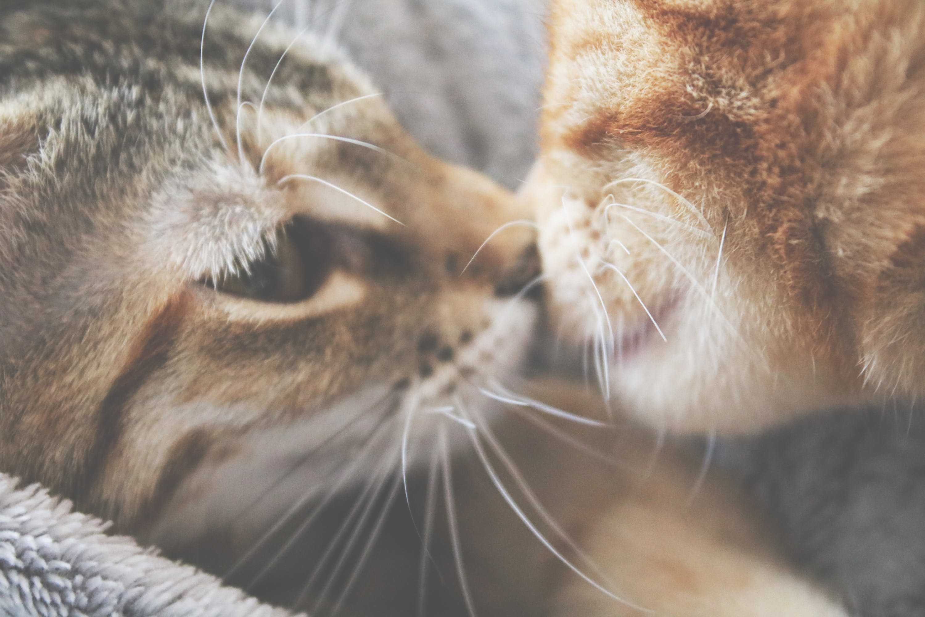 Free stock photo of affection, animals, cats, couple