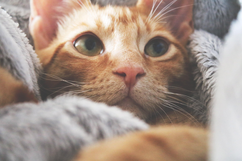 Immagine gratuita di adorabile, alla ricerca, animale, animale domestico