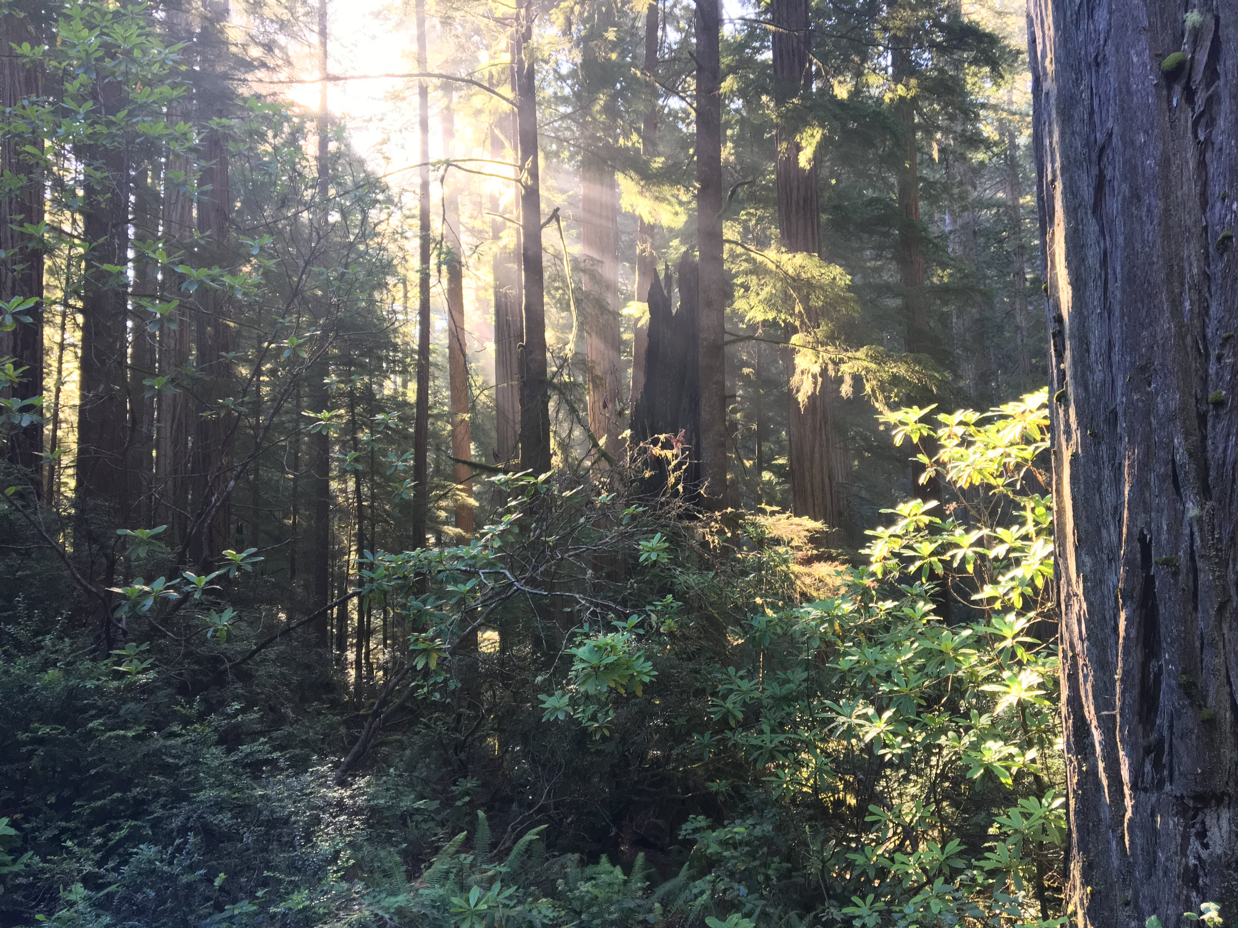 Free stock photo of forest, morning, redwood, serene