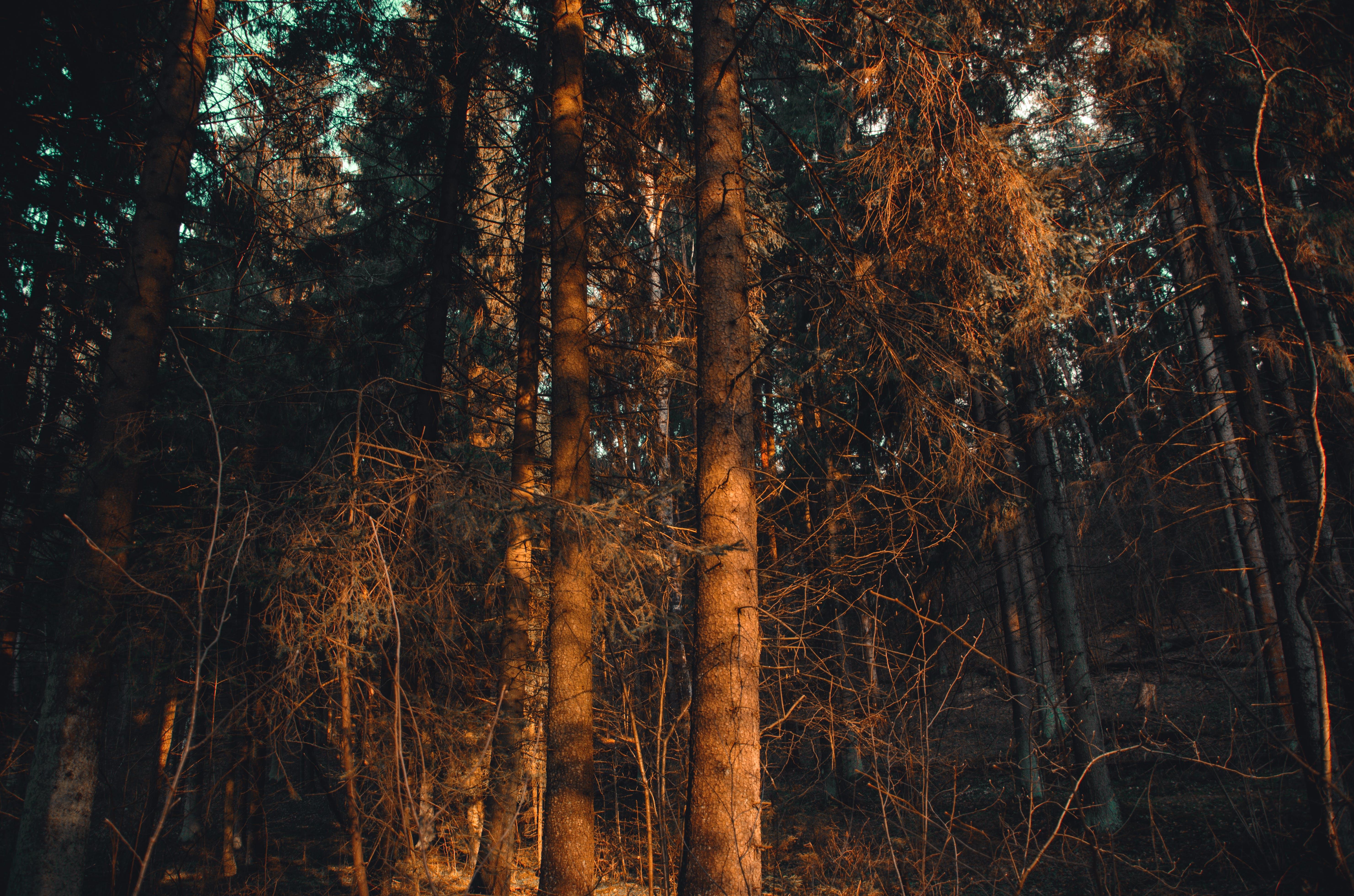 Ingyenes stockfotó ágak, erdő, este, fák témában