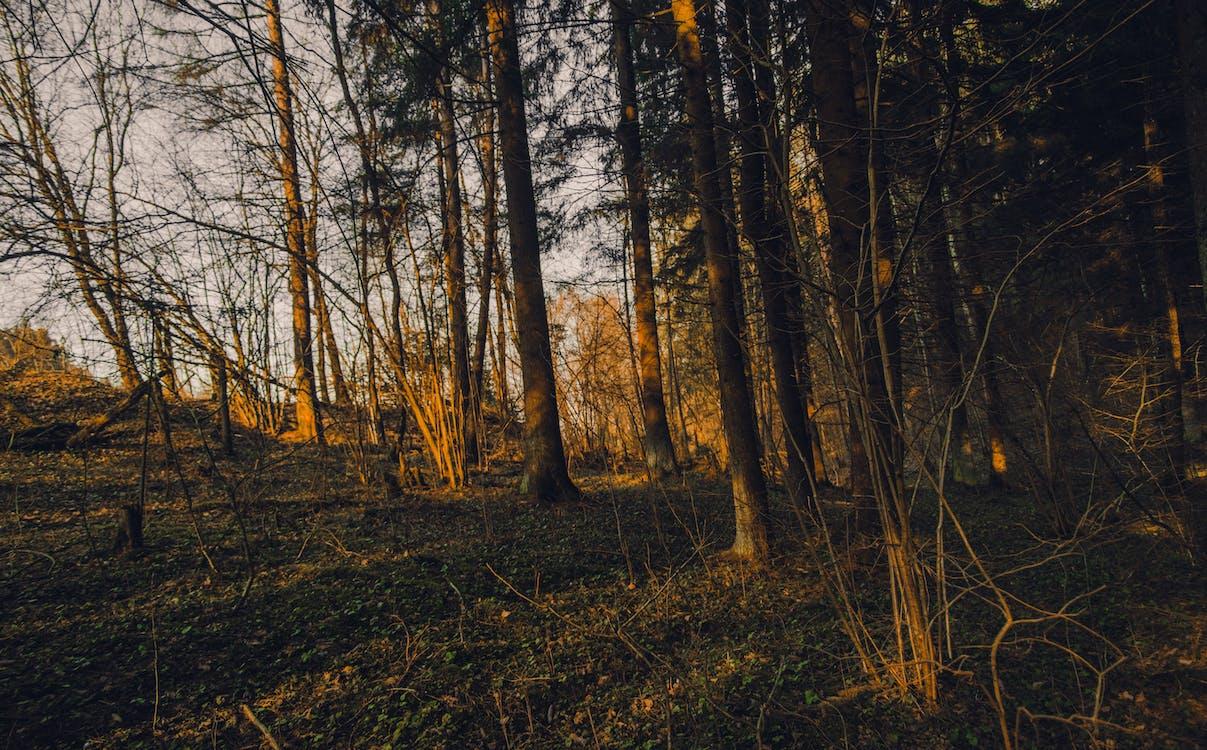 apus, arbori, brad