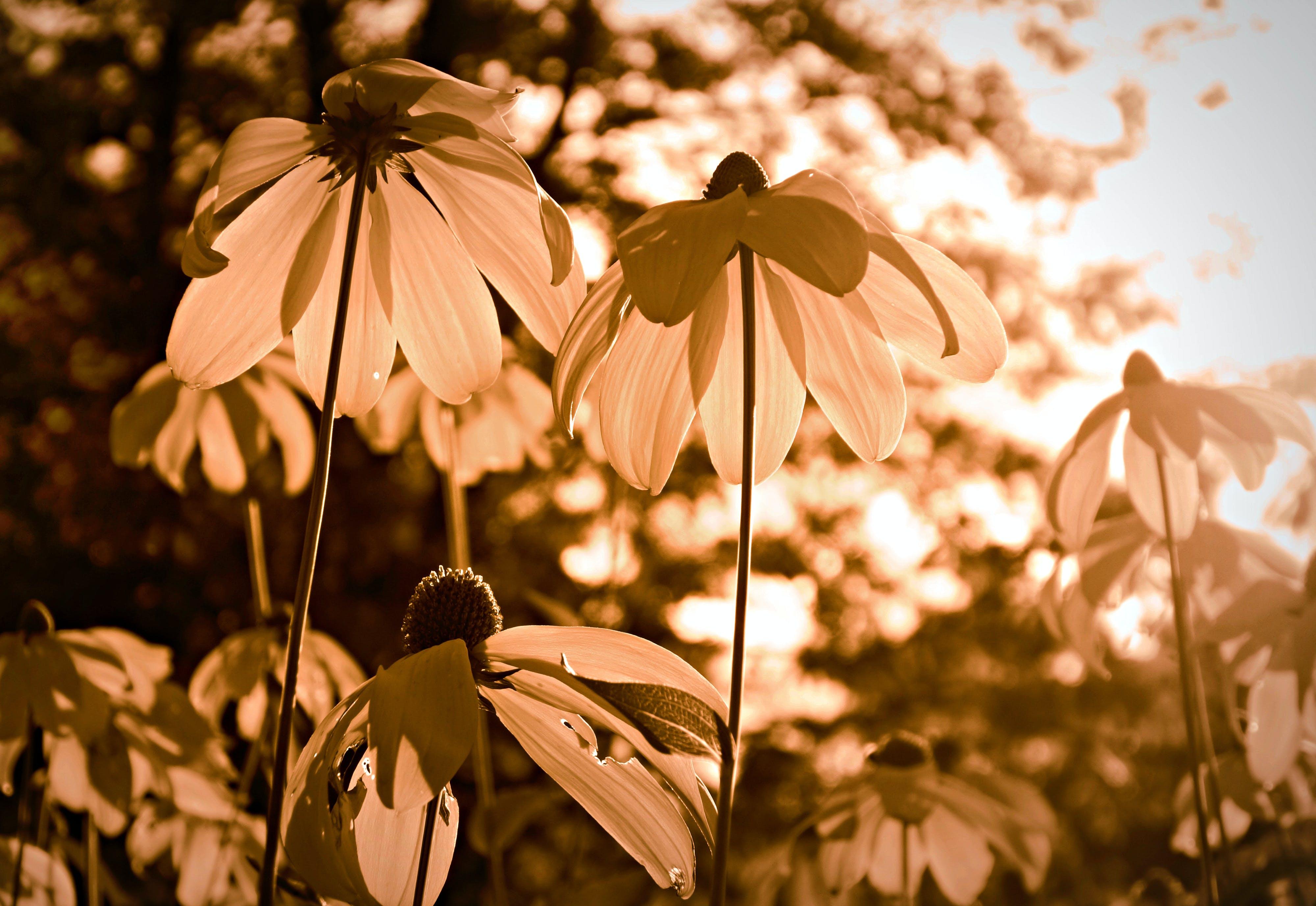Free stock photo of summer, plant, flower, echinacea