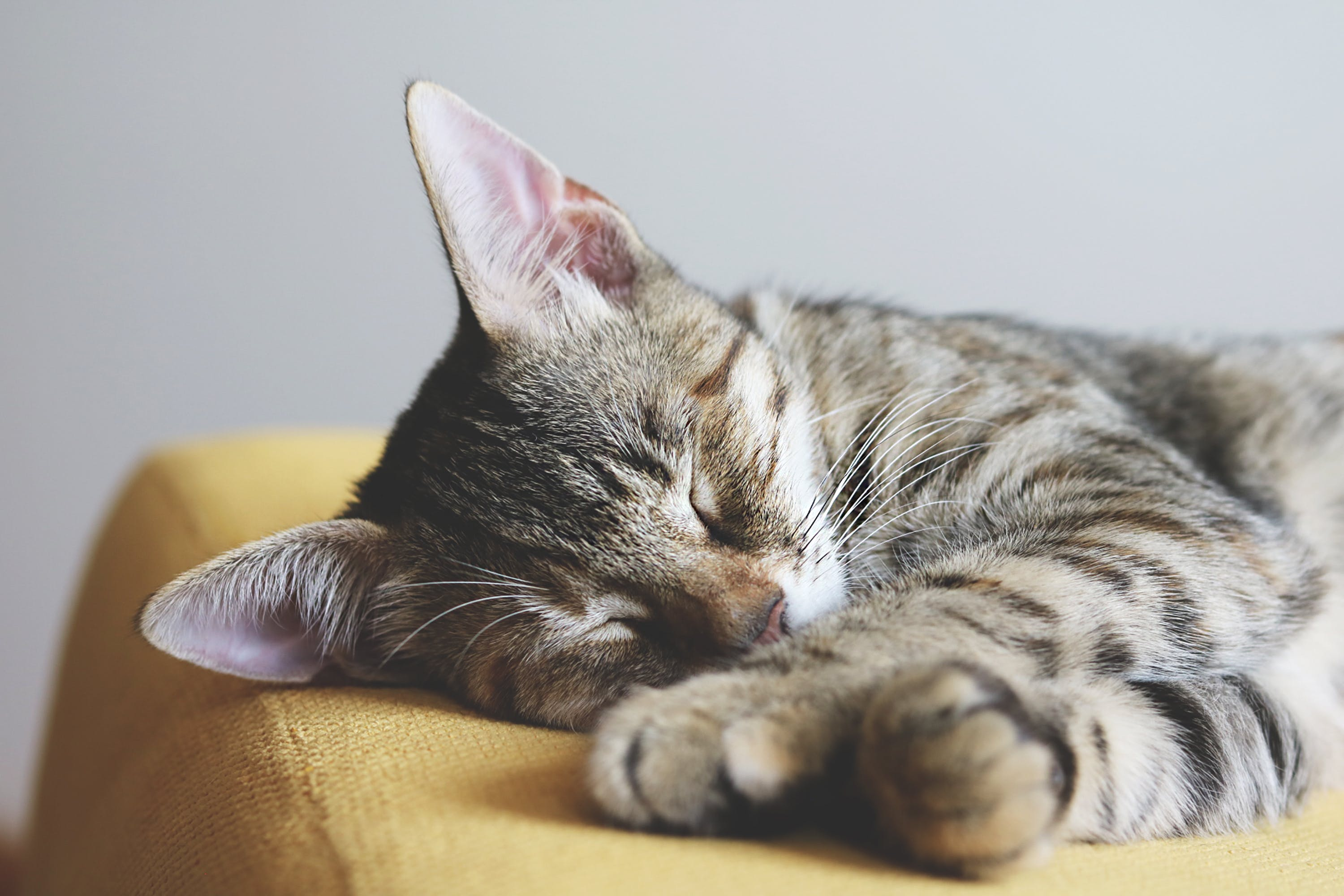 Close-up Photography of Gray Tabby Cat Sleeping on Yellow Textile
