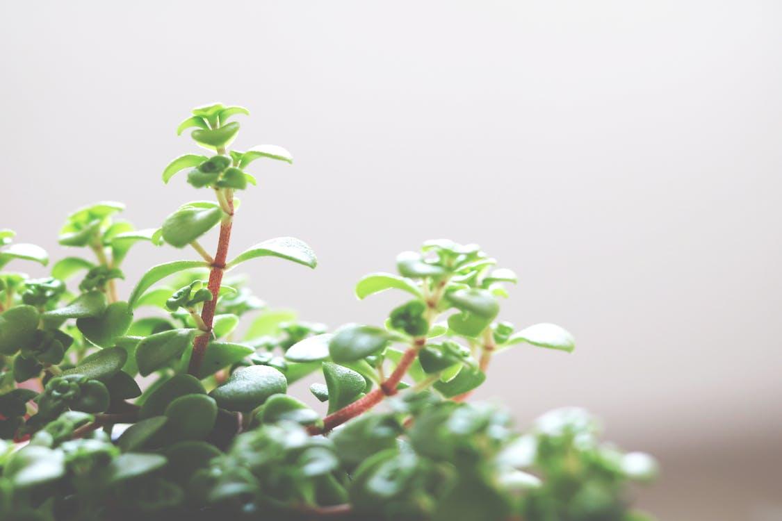 črepníková rastlina, dekoratívna rastlina, izbová rastlina