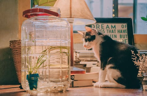黑白猫坐在透明玻璃饮料分配器,台灯和棕色木制的桌子上的书旁边