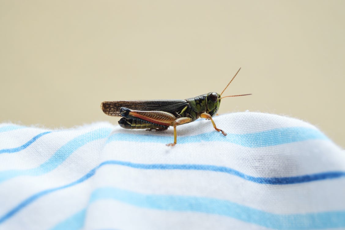 Green Grasshopper on Textile