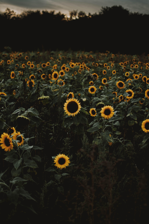 Sunflower Field during Dawn